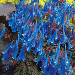 Хохлатка CRAIGTON BLUE