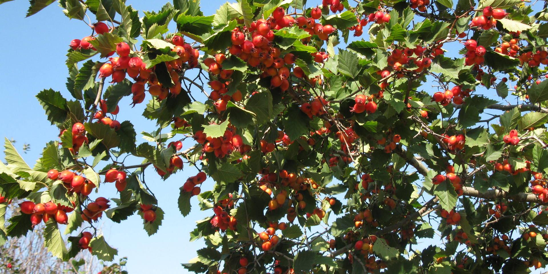 Вкусный крупноплодный боярышник